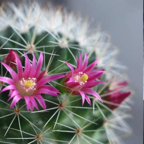karty metafor - kwitnący kaktus